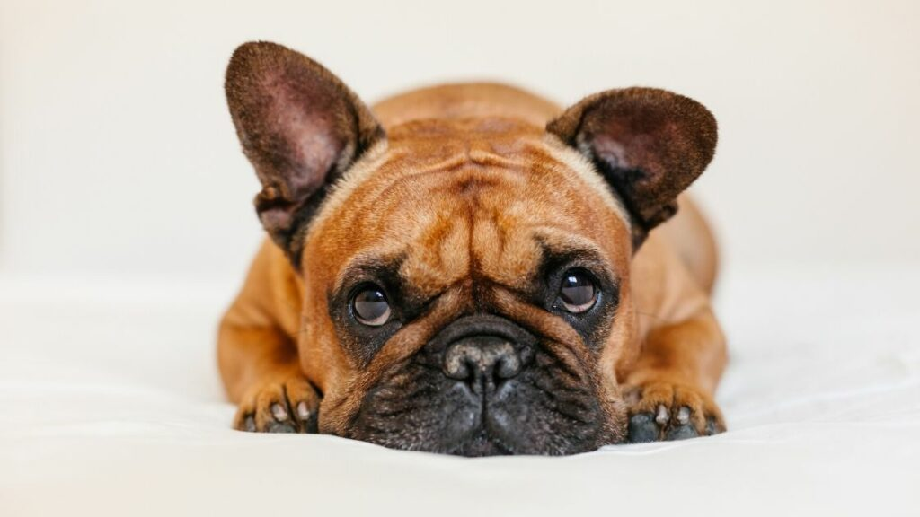 Are Frenchies Just Stubborn