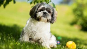 Are Shih Tzus Playful