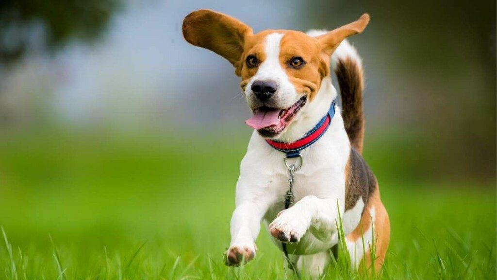 Beagle Exercise Needs