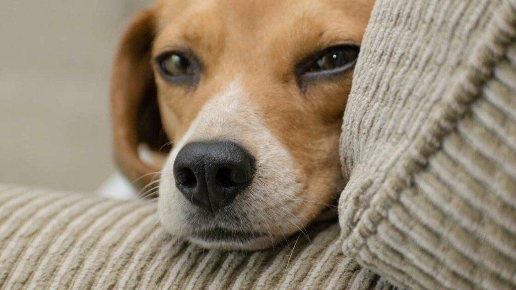 Beagle Personality