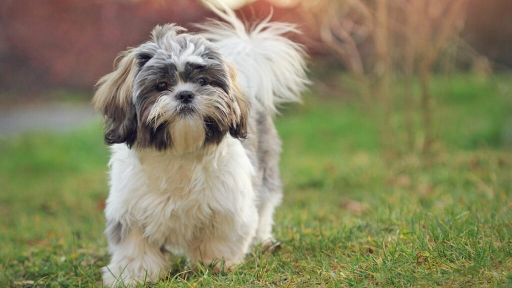Games to Play With Your Shih Tzu