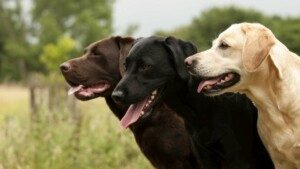 Labrador Retriever Breed Information