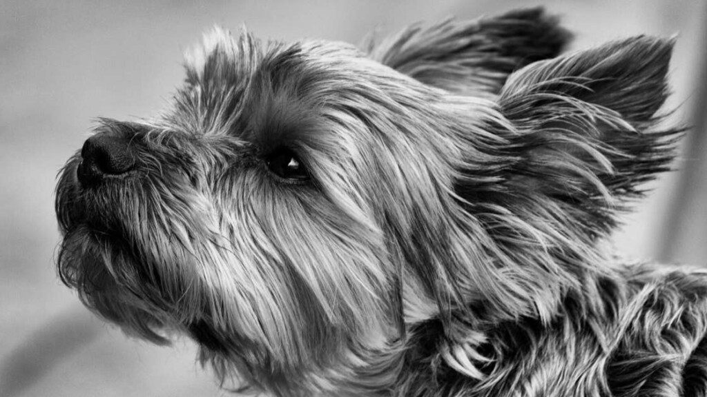 Yorkshire Terrier Breed History
