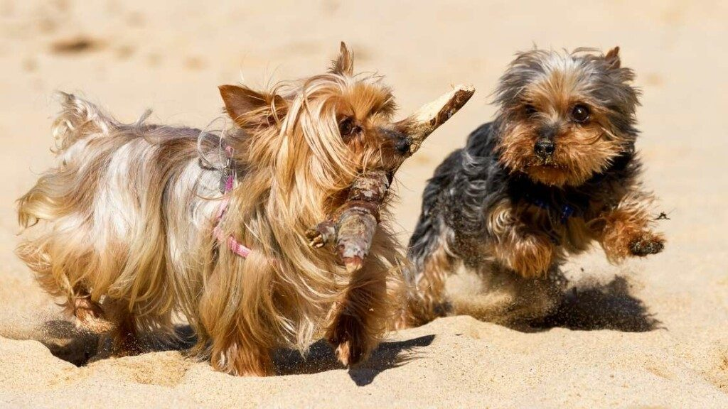Yorkshire Terrier Exercise Needs