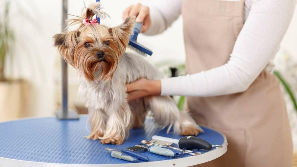 Yorkshire Terrier Grooming and Care