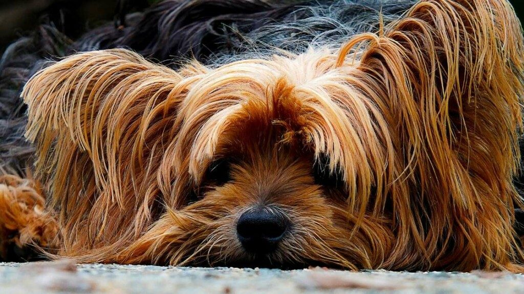 Yorkshire Terrier Known Health Issues