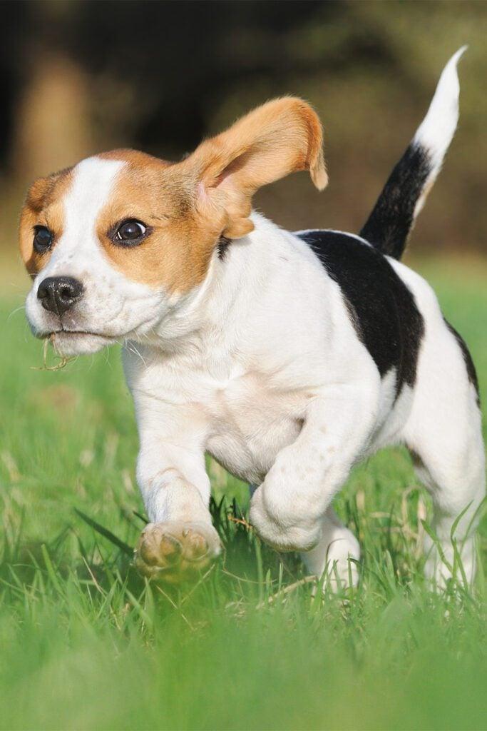 8 Week Old Beagle Puppy