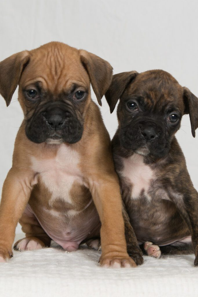 8 Week Old Boxer Puppies