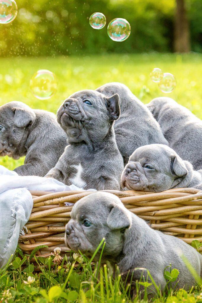 A Bunch Of Frech Bulldogs