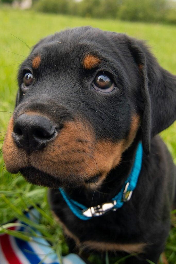 Adorable Rottweiler Puppy