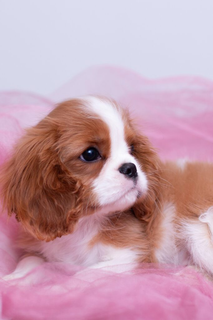 Baby Cavalier King Charles Spaniel