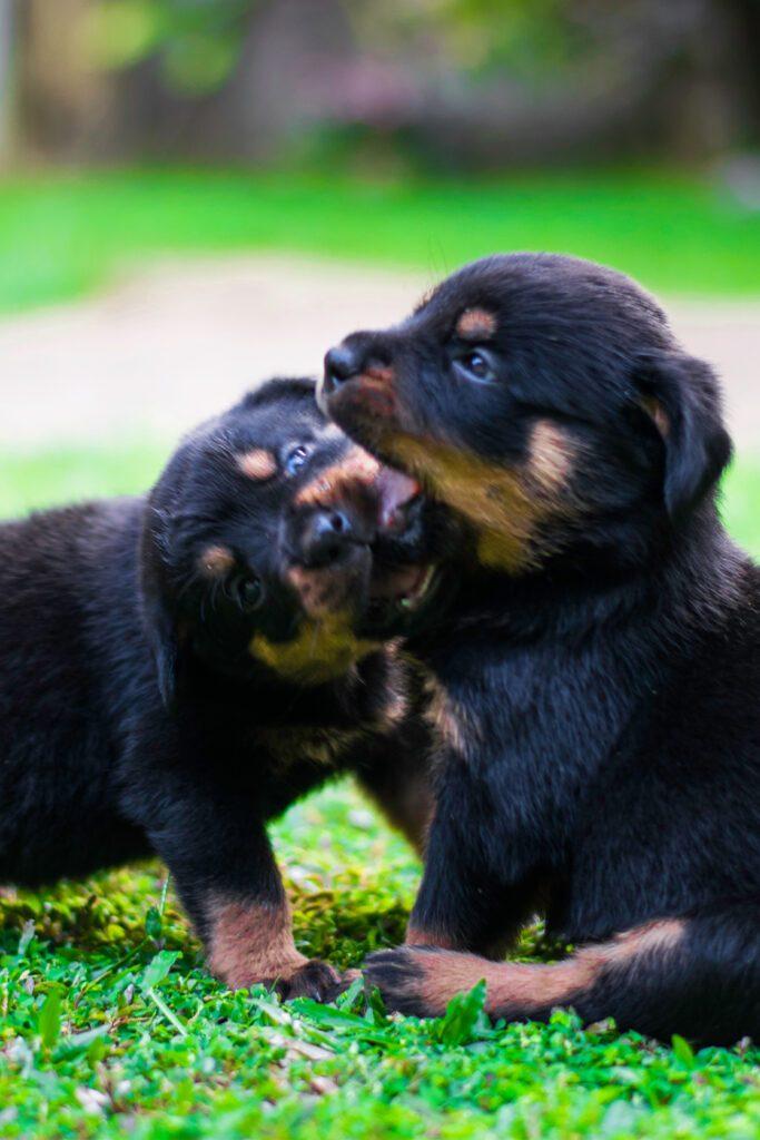 Baby Rottweiler Puppies