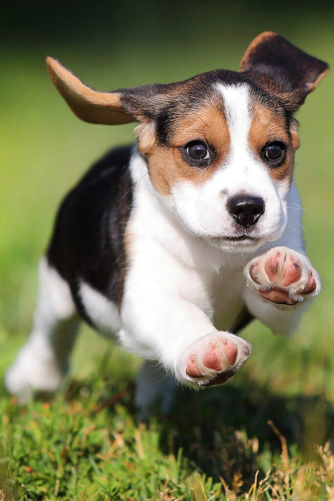 Beagel Puppy running