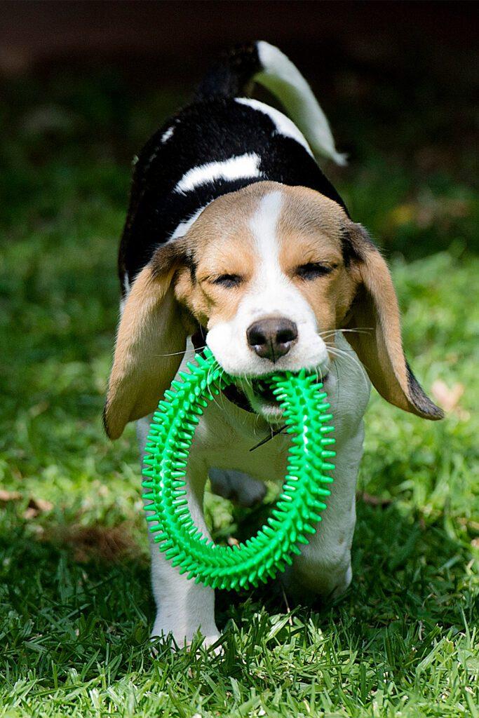 Beagle Puppies So Cute