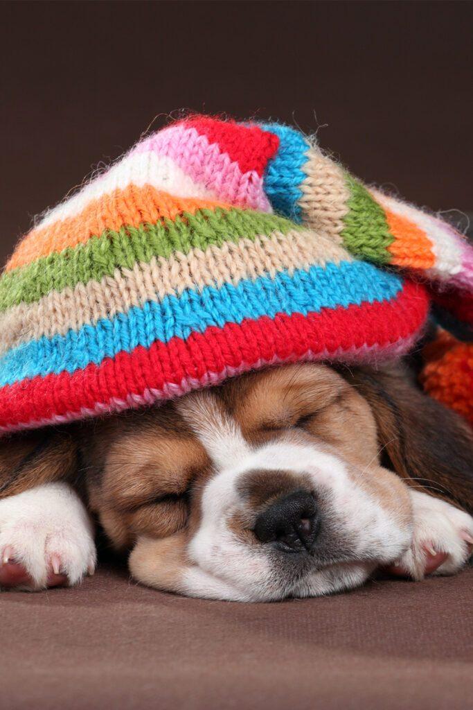 Beagle Puppy Colors