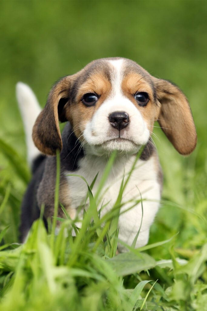 Beagle Puppy Cutest