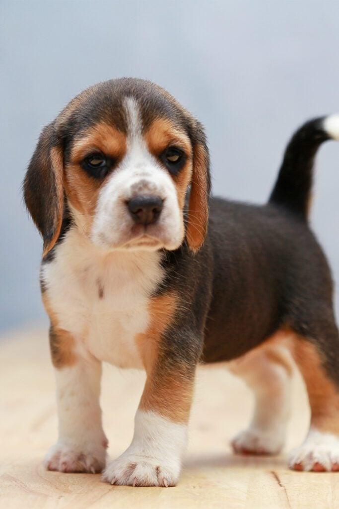 Beagle Puppy Funny