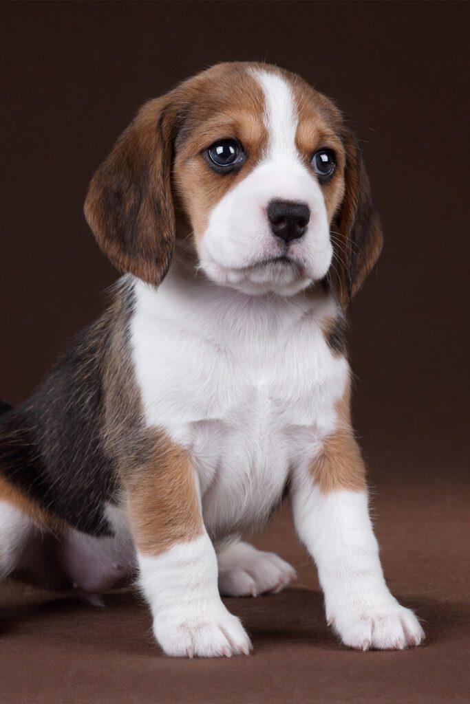 Beagle Puppy Tri Color