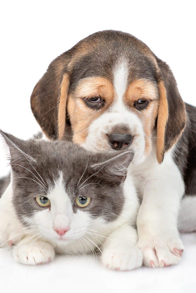 Beagle Puppy With Kitten