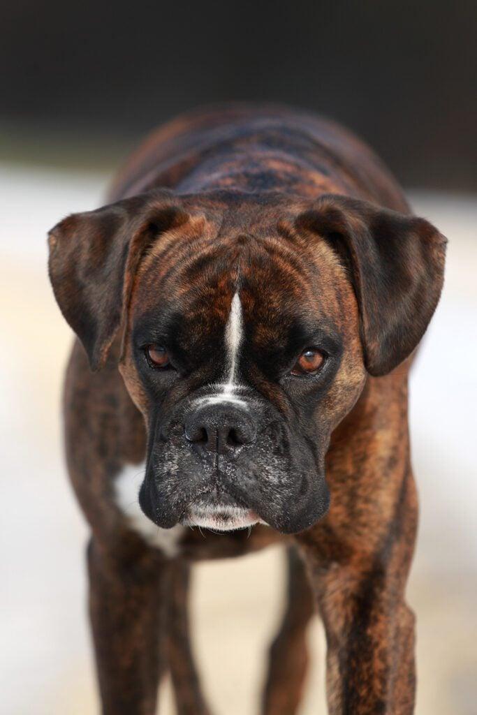 Big Boxer Dog