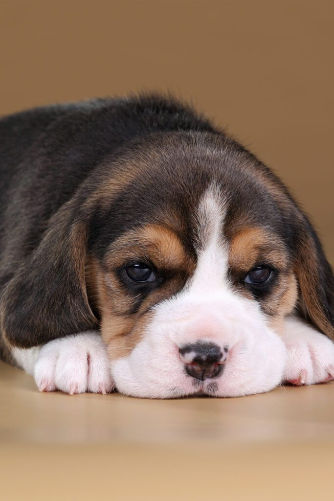 Black Beagle Puppy
