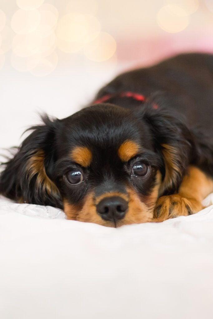 Black Cavalier King Charles Spaniel Puppy