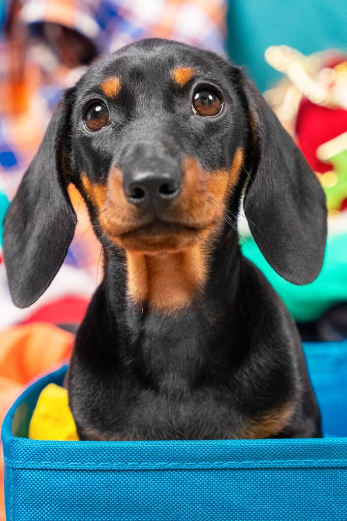Black and Tan Dachshund Puppy