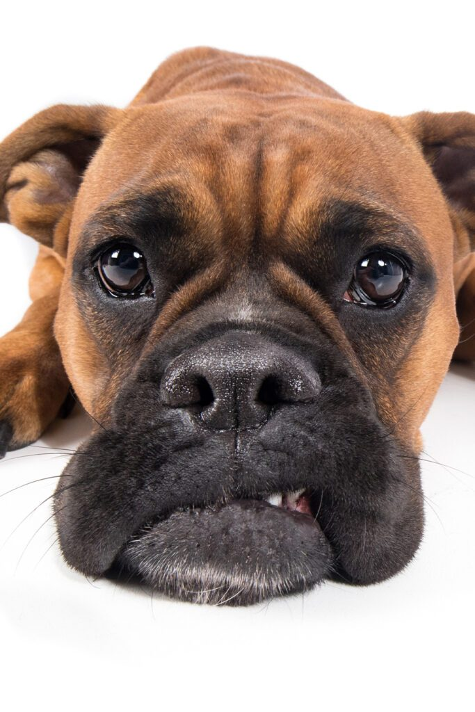 Boxer Dog Funny Face