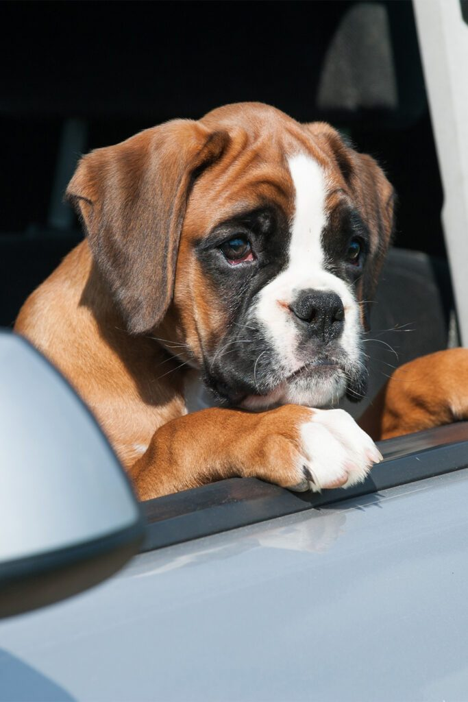 Boxer Dog in a Car