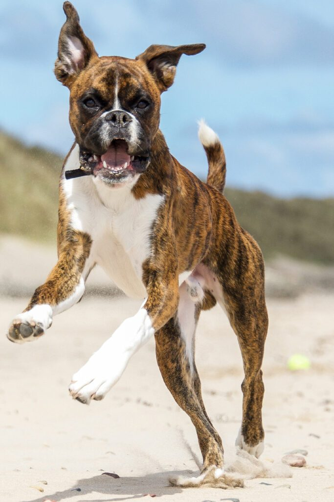 Boxer Dogs At The Beach