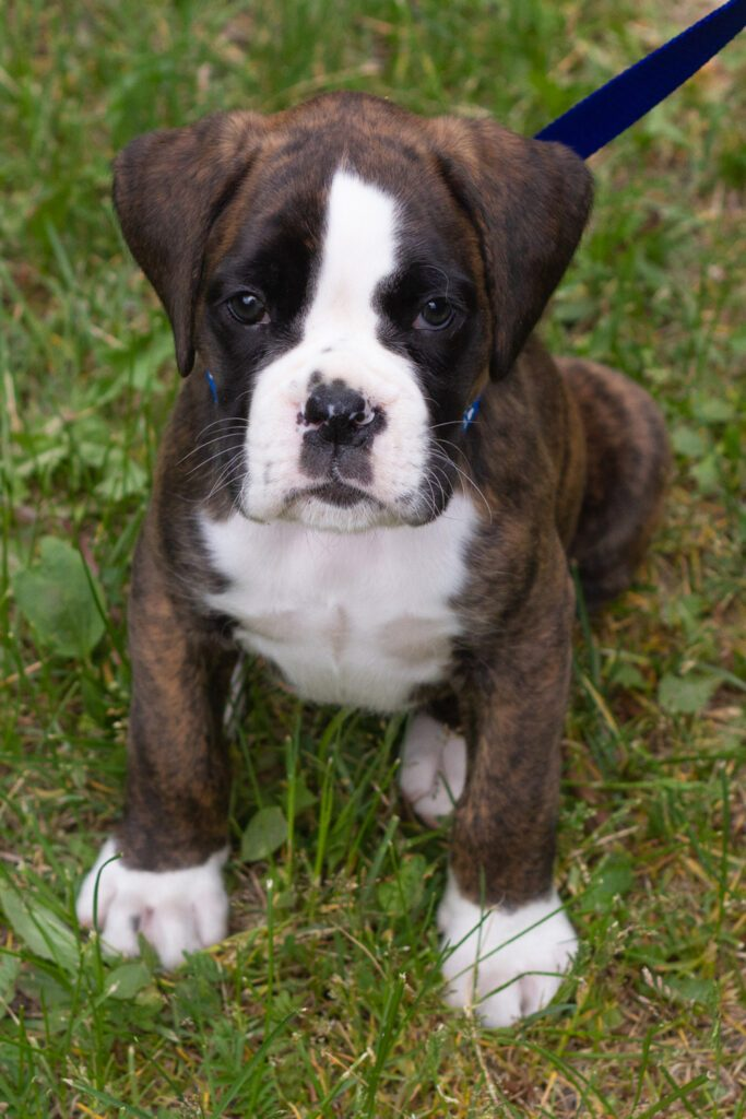 Boxer Puppy Big Paws