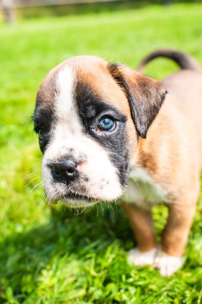 Boxer Puppy Blue Eye