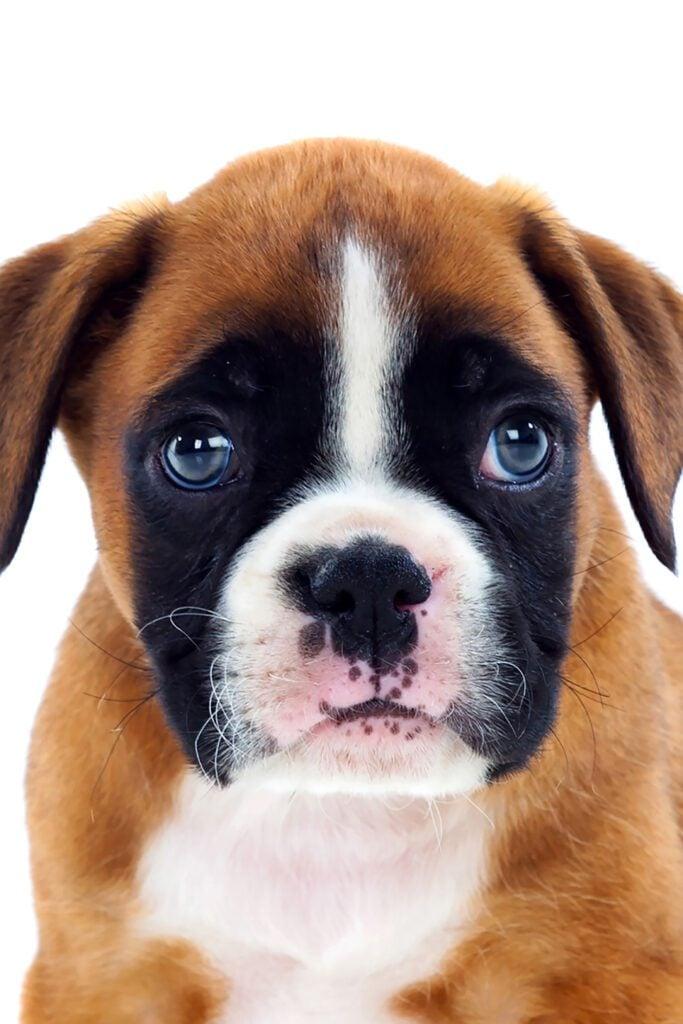 Boxer Puppy Blue Eyes