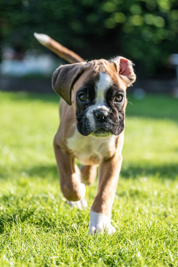Boxer Puppy Out For A Walk