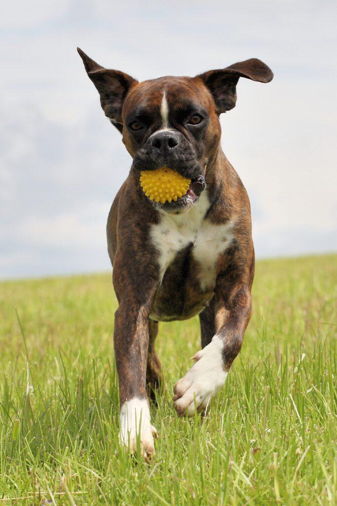 Brindle Boxer Dog Playing