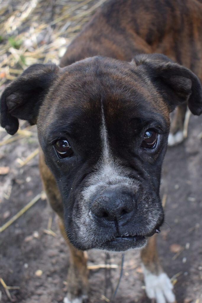 Brindle Boxer Dog Puppy