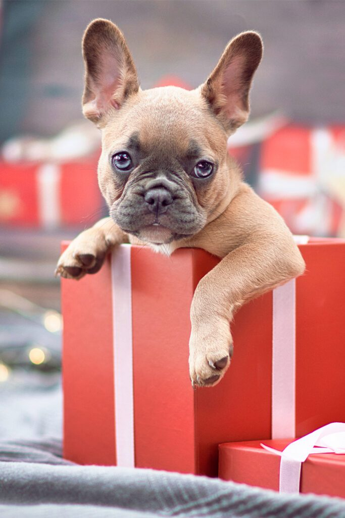 Brown French Bulldog Pup