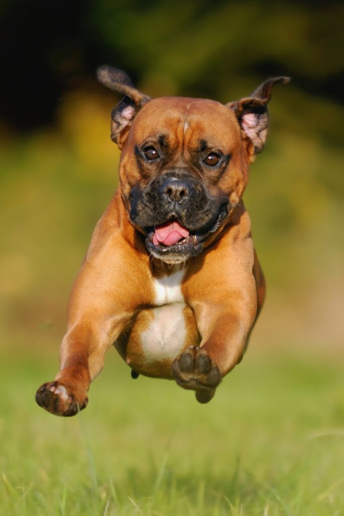 Can Boxer Dogs Fly