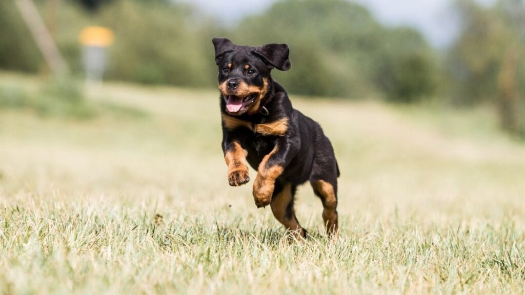 Can Rottweilers Run Fast