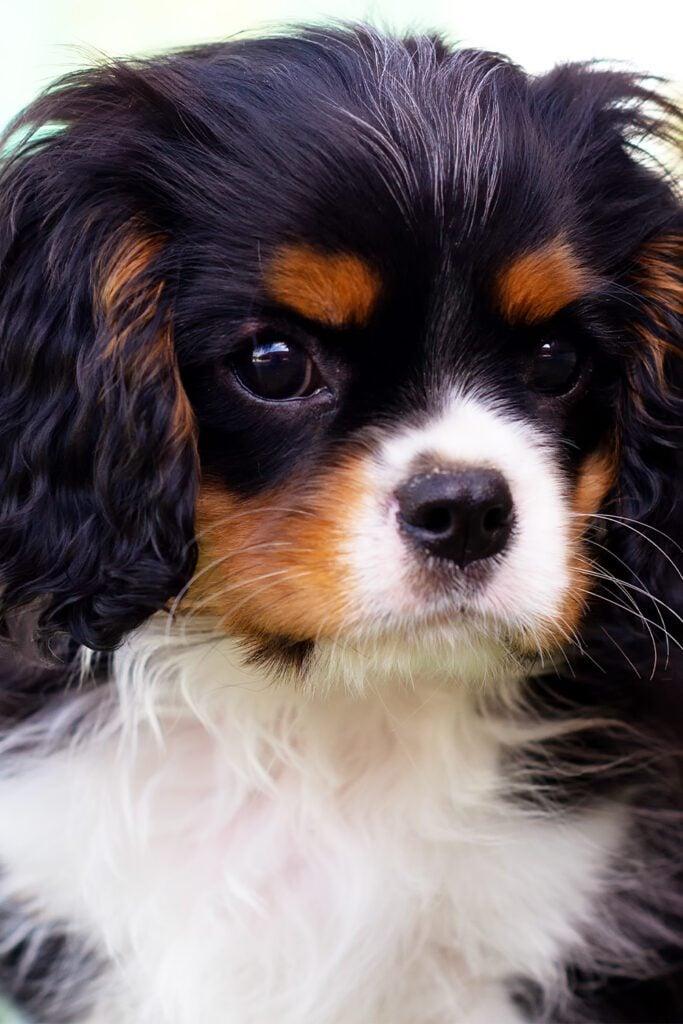 Cavalier King Charles Spaniel Black And Tan Puppy