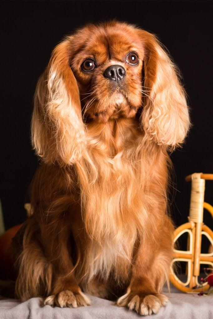 Cavalier King Charles Spaniel Haircut