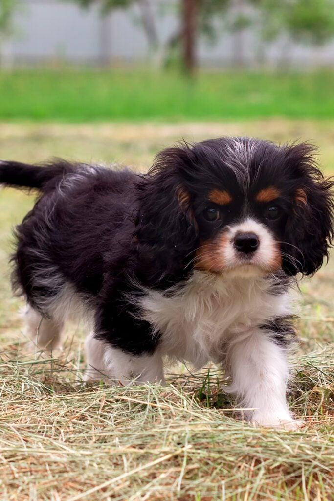 Cavalier King Charles Spaniel Puppy 1