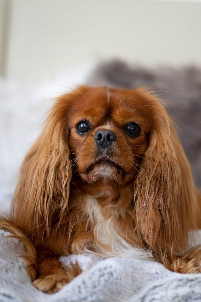 Cavalier King Charles Spaniel Puppy Blenheim