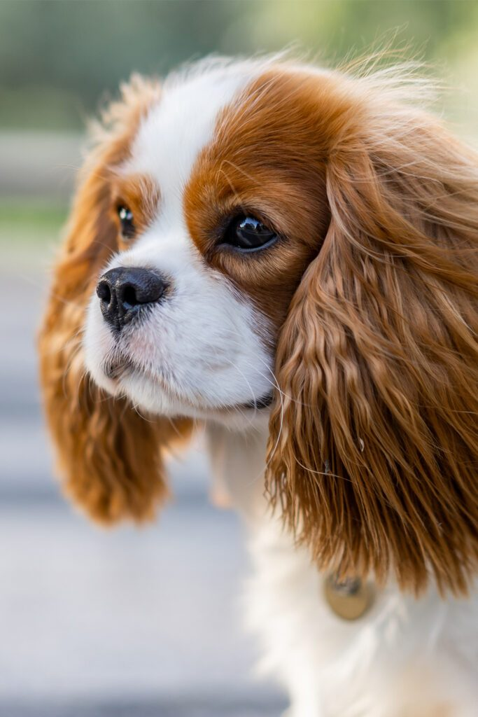 Cavalier King Charles Spaniel Puppy Colors