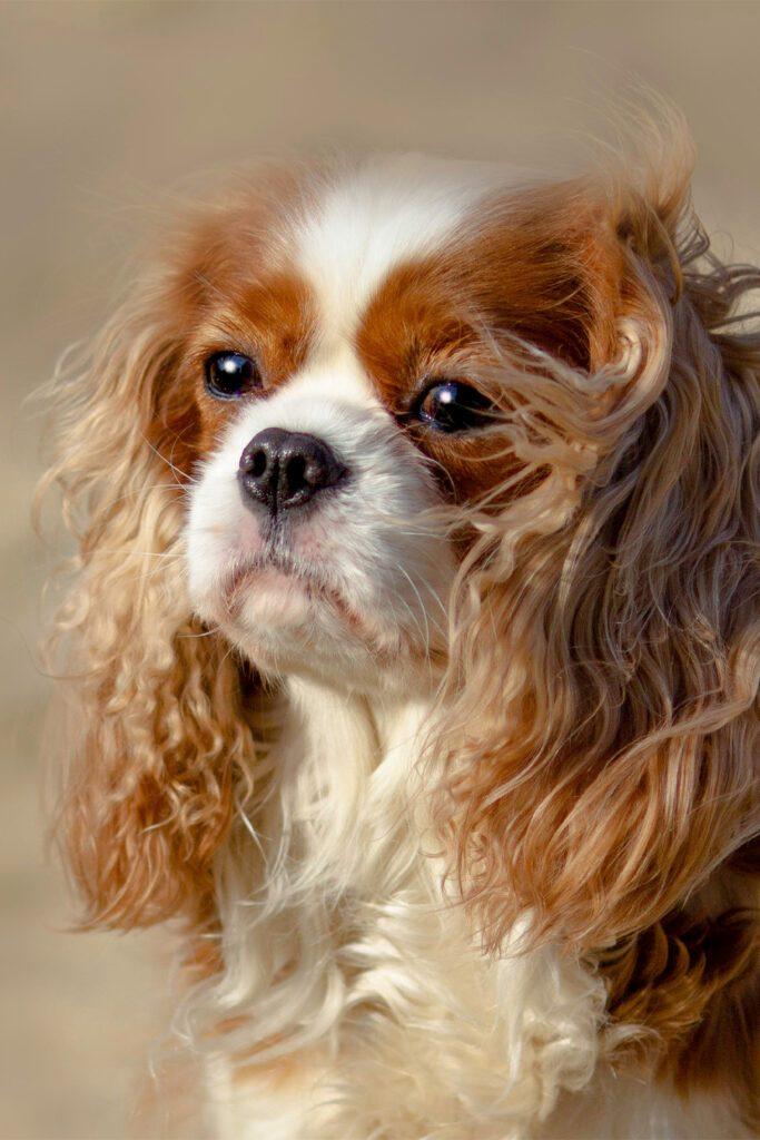 Cavalier King Charles Spaniel Puppy Grooming