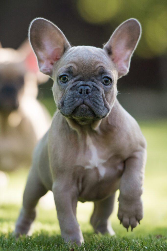 Cream French Bulldog Puppy