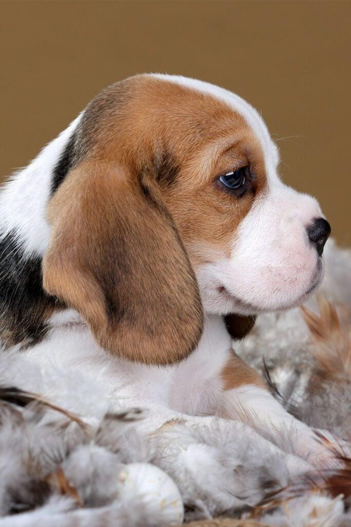 Cute Beagle Puppies