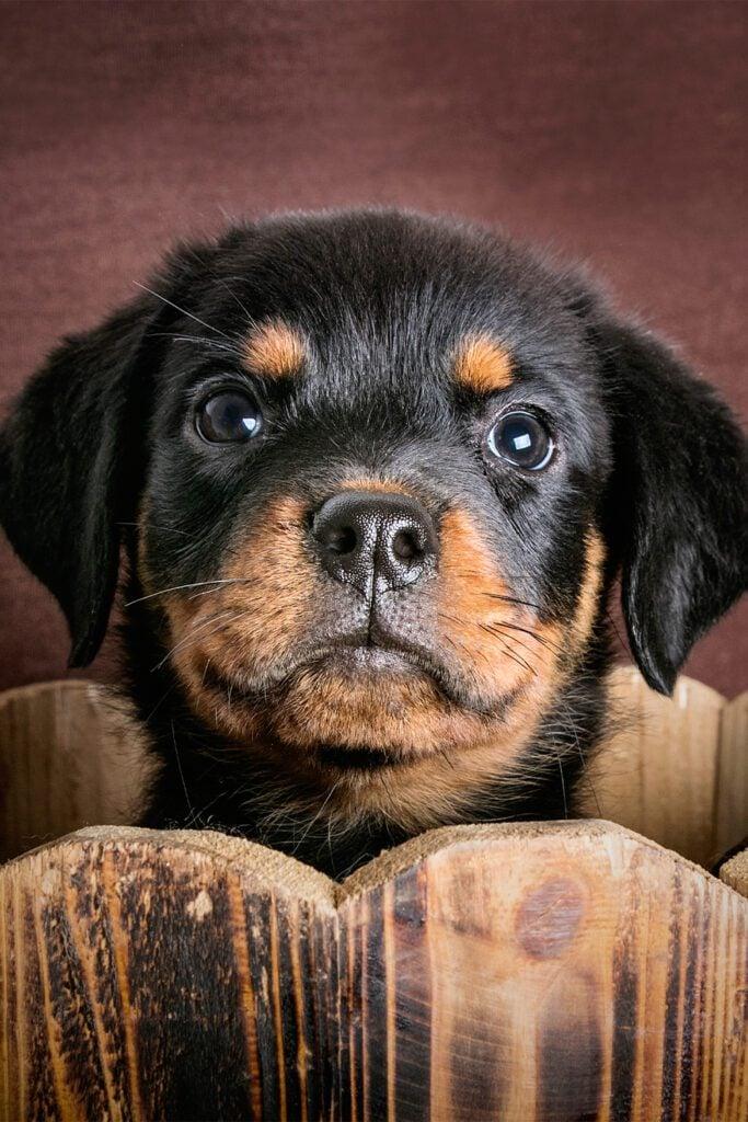 Cute Black Rottweiler Puppy