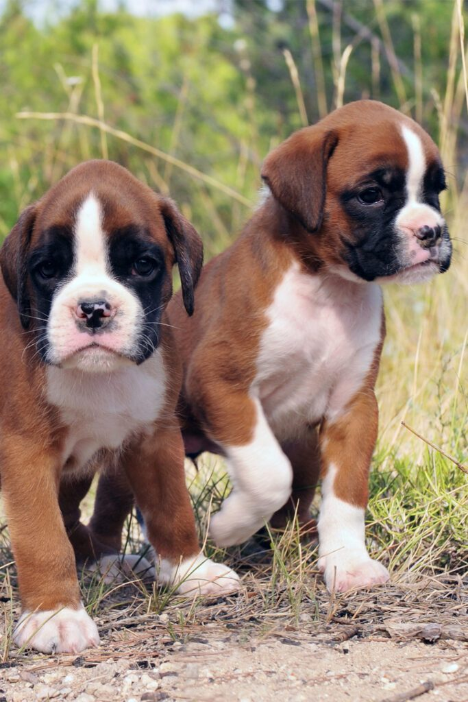 Cute Boxer Dogs