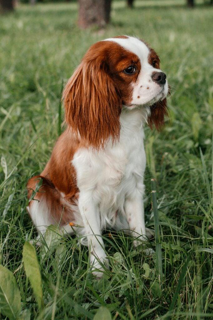 Cute Cavalier King Charles Spaniel Puppy